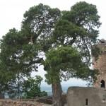 Schloss Auerbach: Wo eine 300-jährige Kiefer im Mauerwerk wurzelt