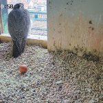 Wo geht's zur Falken-Webcam im Sinnwellturm der Nürnberger Burg?