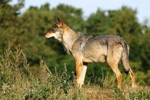 Wieder da: Der Wolf in der Lausitz / Foto: Wikipedia / Malene Thyssen / CC-BY-SA-3.0