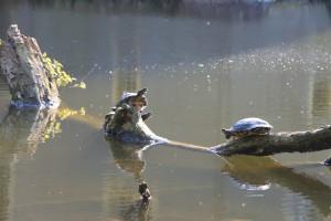 Die Amphibien genießen die Sonne im Schlossgraben