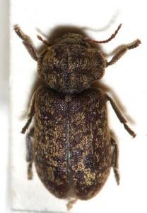 Schaut etwas mottig aus: Der gescheckte Nagekäfer (Xestobium rufovillosum) / Foto: Wikipedia / Sarefo / CC-BY-SA-2.5