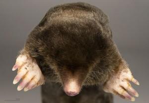 Gräbt gerne: Der europäische Maulwurf / Foto: Wikipedia / Didier Descouens / CC BY 3.0