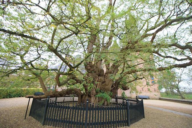 Die Robinie vor dem Schloss ist einer der ältesten Bäume der Niederlande.