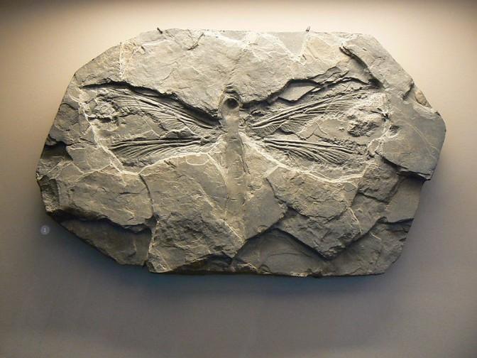 Fossil einer Riesenlibelle mit bis zu 70 Zentimetern Spannweite / Foto: Wikipedia / Hcrepin / CC-BY-SA 3.0
